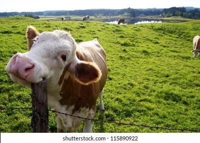 Fröhliche Kuh auf der Weide, kratzen sich den Kopf mit einem Zaunpfosten