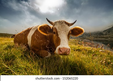 Happy Cow. Similar images at http://www.shutterstock.com/sets/1044715-happy-cows.html?rid=1728748