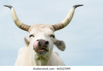 Happy Cow/Gray Cattle Licking Own Nose