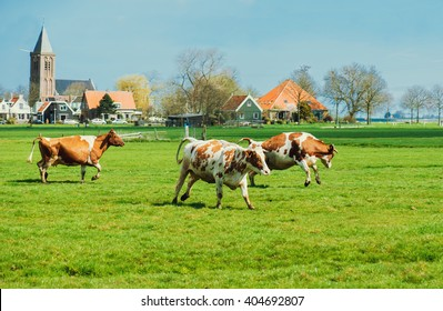 Happy cows jumping after being released into an open field. Shot near Amsterdam, Dutch capital.