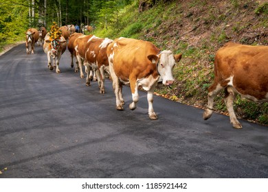 Happy cows leaving the high mountains during winter