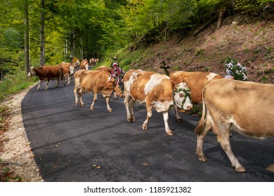 Happy cows leaving the mountains during winter which is huge celebrated in September