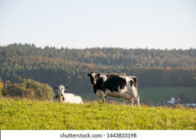 Fröhliche Kühe auf einem Bauernhof