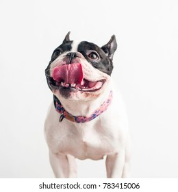 Happy, curious dog French Bulldog, isolated on a white background
