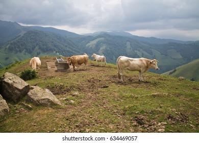 happy cute brown cows enjoying in irati mountains, basque country, france