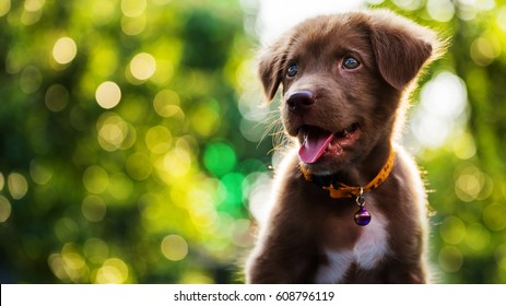 Happy cute brown Labrador retriever puppy with bokeh foliage sunset light abstract background. Head shot portrait of Adorable smile dog at green spring tree leaf in meadow with copy space for text.