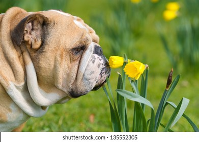 Happy cute english bulldog dog portrait in the spring field of yellow daffodils