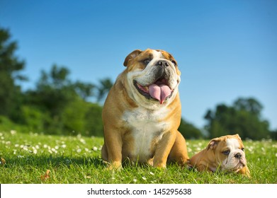 Happy cute english bulldog puppy with its mother dog outdoors