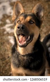 Happy and cute german shepherd