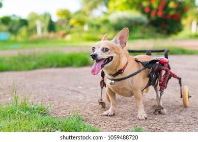 Happy cute little dog in wheelchair or cart walking in grass field.