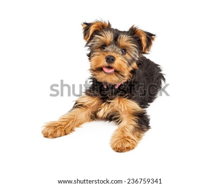 Happy Cute Little Teacup Yorkie Puppy Stock Photo Edit Now