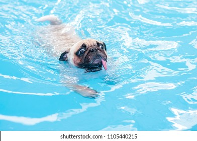 Happy cute pug dog swimming with tongue sticking out in private local pool.