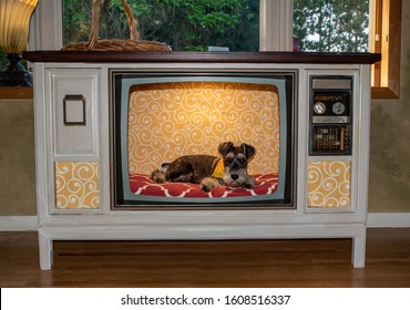 A happy and cute schnauzer puppy sitting in upcycled television, TV made into dog kennel. Bed cushion is bright red and background is yellow print.  Vintage tube tv made into dog crate or bed.