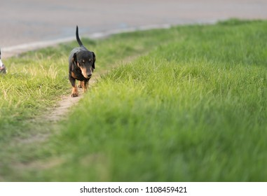 happy dachshund dog at the grass
