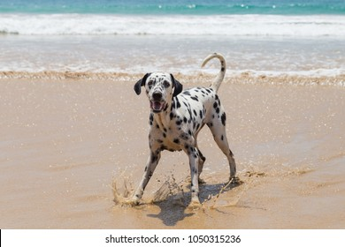 Happy Dalmatian dog on the ocean playing with coconut