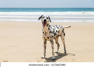 Happy Dalmatian dog playing on the beach