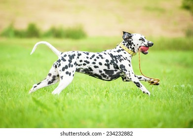 Happy dalmatian dog playing with a toy