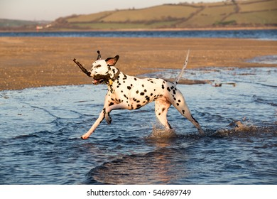 Happy Dalmatian dog running through the sea carrying a stick