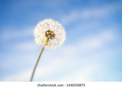Happy Dandelion in the blue sky in the morning time.