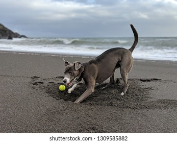 happy digging dog on Muir beach with a ball and ocean in the background
