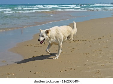 Happy disabled dog on three legs playing on Beach in Charles Clore Park. Tel Aviv, Israel