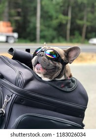 Happy dog in back of a motorcycle with sunglasses.