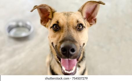 快乐的狗碗是一个饥饿的德国牧羊犬等待有人在他的碗里食物。
