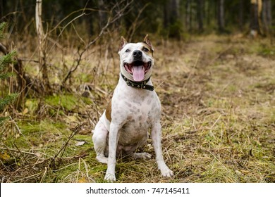 happy dog breed pit bull Terrier for a walk in the autumn forest