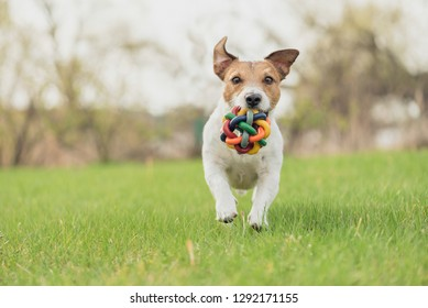Happy dog with colorful toy running and playing at spring fresh green grass lawn