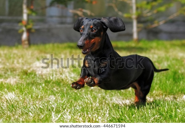 happy dog German haired dwarf Dachshund playing in the back yard, running and jumping in the summer on the grass