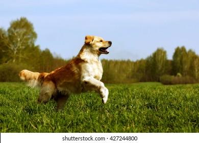 Happy dog Golden Retriever jumps on the green grass