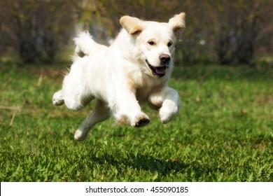Happy dog Golden Retriever quickly runs and jumps in the summer in nature and if frozen in flight over the earth
