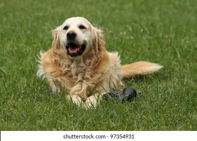 happy dog in the grass playing with shoe