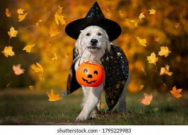 happy dog in halloween costume walking with a pumpkin basket