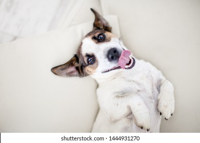 Happy dog at home. Dog with tongue out