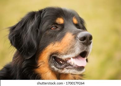 happy Dog hovawart portrait close up