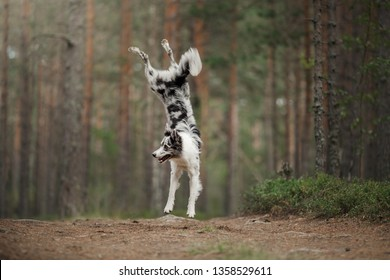 happy dog jumps and plays. Funny border collie in nature in summer