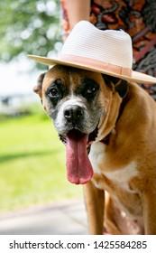 "happy dog ""Kira"" enjoying Holidays with hat and long tounge boxer love"