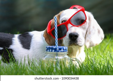 Happy dog lying on grass and feels warm in summer with lemonade and sunglasses