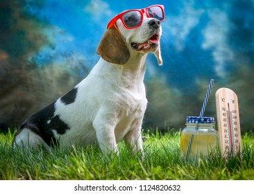 Happy dog lying on grass and feels warm in summer with lemonade and sunglasses, thermometer