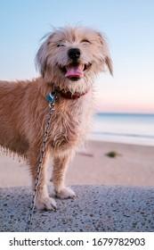 Frohe Hündin am Strand bei Sonnenuntergang