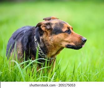 Happy dog on green grass