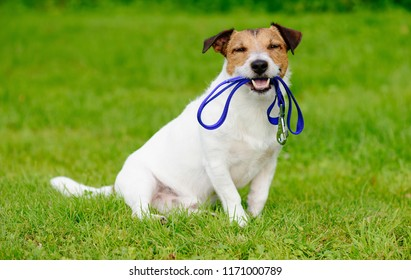 Happy dog outside sitting on green grass lawn with leash in mouth