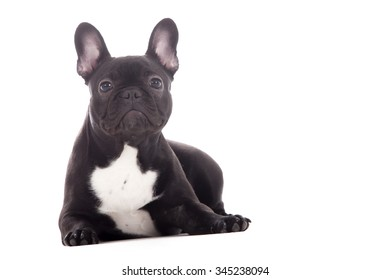 97492110 French Bulldog Puppy Chewing On Pair Stock Photo (Edit Now) 61527109 ...