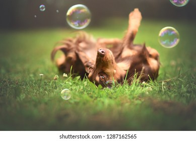 Happy dog. Dog is playing with bubbles. Dachshund.