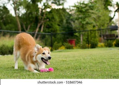 Happy Dog Playing at the Park with Toy