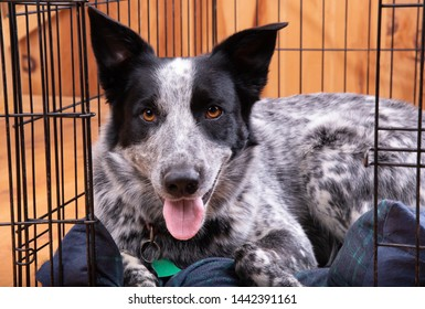 Happy dog resting in her open crate, looking at the viewer