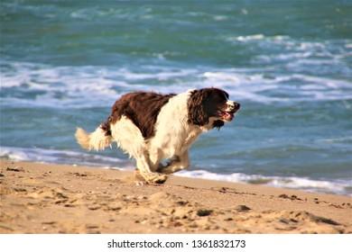 Happy dog runnig on the  coast.