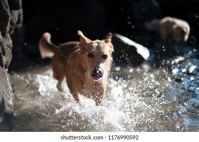Happy dog runnig on the water