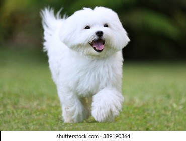 Happy Dog Running / Close-up of a  white maltese dog running on green grass background